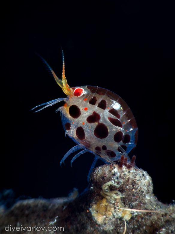 spooky amphipods parasite ecology